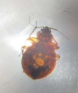 Bed bug with hunger bubbles